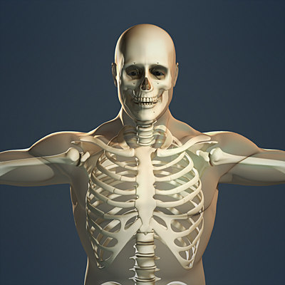 human skeleton male body 3d max, Skeleton