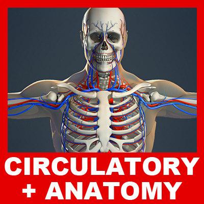 3d circulatory skeleton male human model