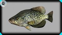 black crappie (fish)