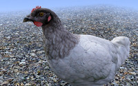black head chicken 3d model