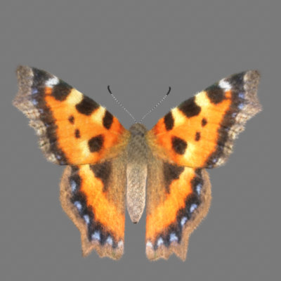 3d model butterfly fur tortoise shell