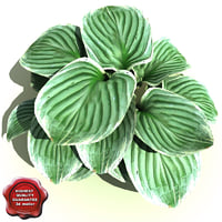 hosta sieboldiana frances williams 3d model
