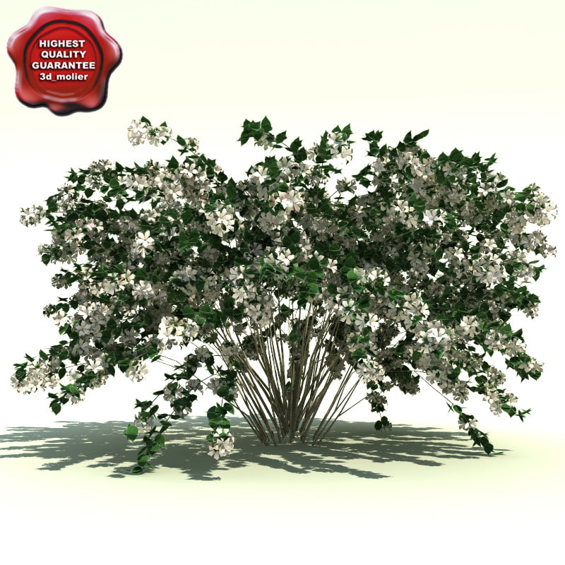 maya kolkwitzia amabilis beauty bush