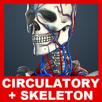 Circulatory System and Skeleton (No Textures)