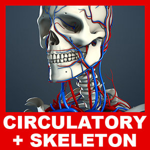 3d model circulatory human skeleton