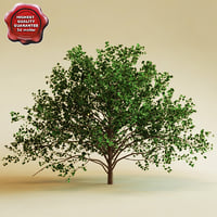3d model cockspur hawthorn