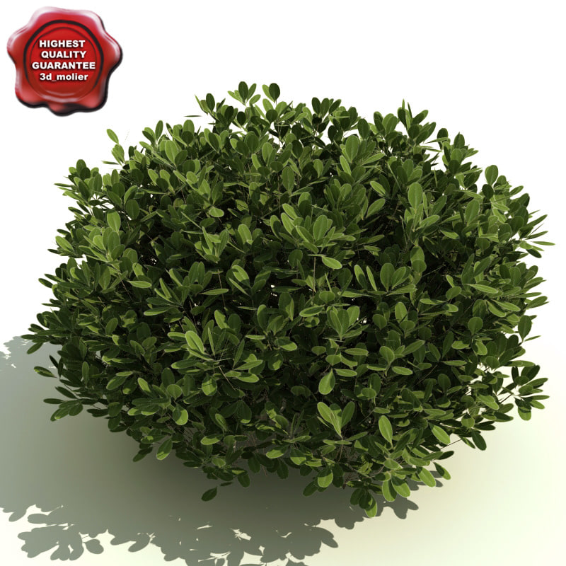 ilex glabra inkberry 3d model