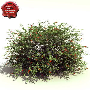 ilex verticillata jim dandy 3d model
