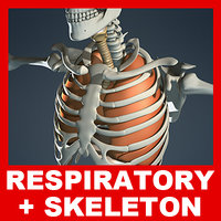 medically respiratory diaphragm skeleton 3d model