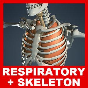 medically respiratory diaphragm skeleton 3d model
