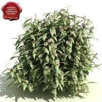 max viburnum rhytidophyllum cree