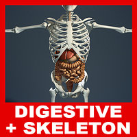 Digestive System and Human Skeleton (No Textures)