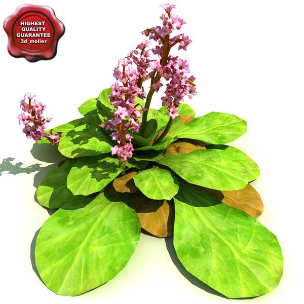 3d model bergenia cordifolia