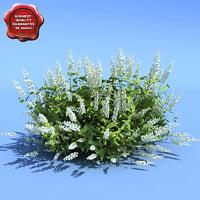 Clethra alnifolia (Hummingbird)