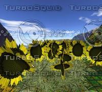 maya sunflowers games