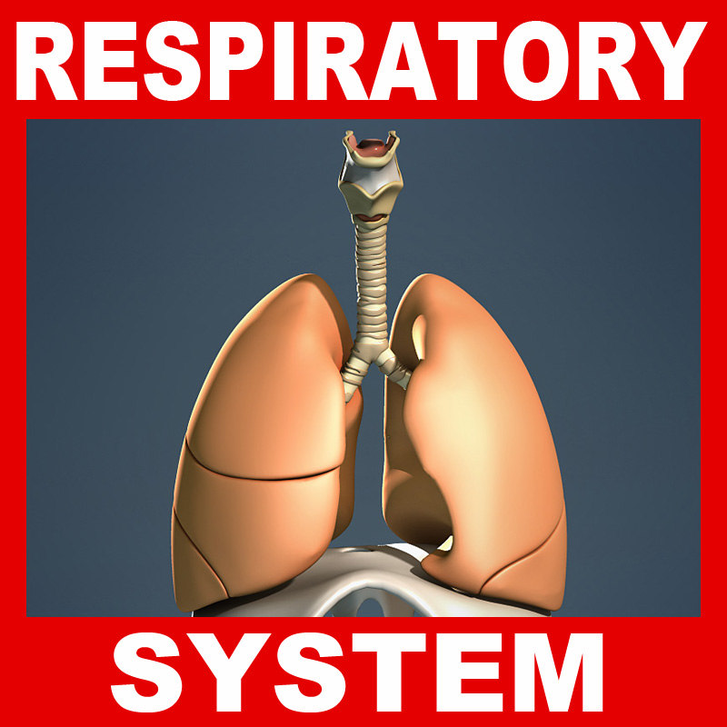 human respiratory diaphragm lungs bronchi 3d lw