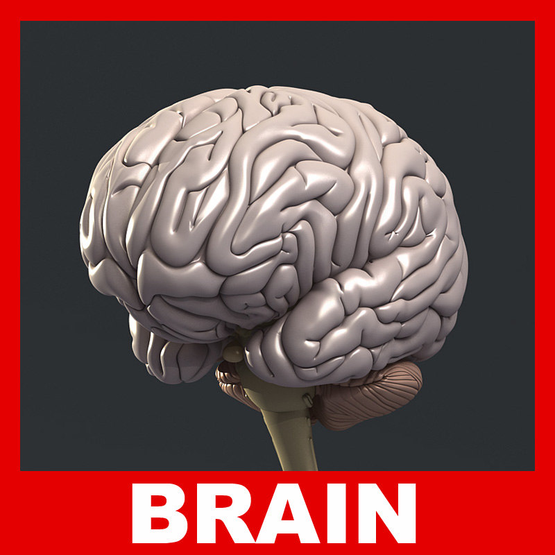 medically human brain 3d model