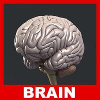 Human Brain 3D Model (No Textures)