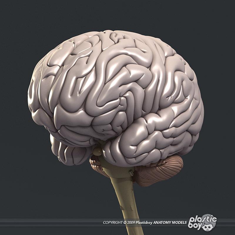 medically human brain 3d model