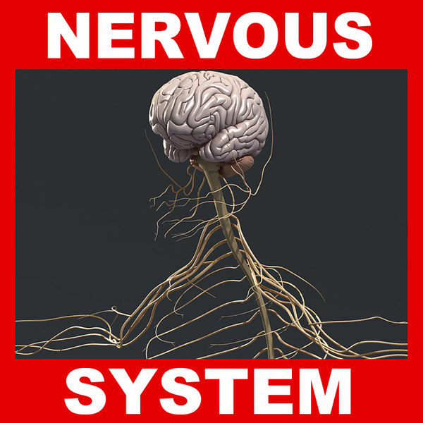 obj human nervous brain