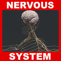 Human Nervous System 3D Model (No Textures)