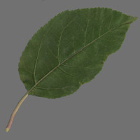 Apple leaf