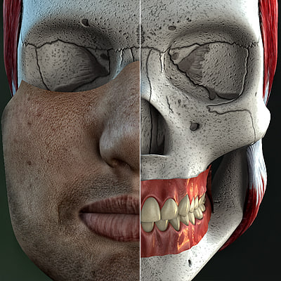 male anatomically skull jaw 3d model