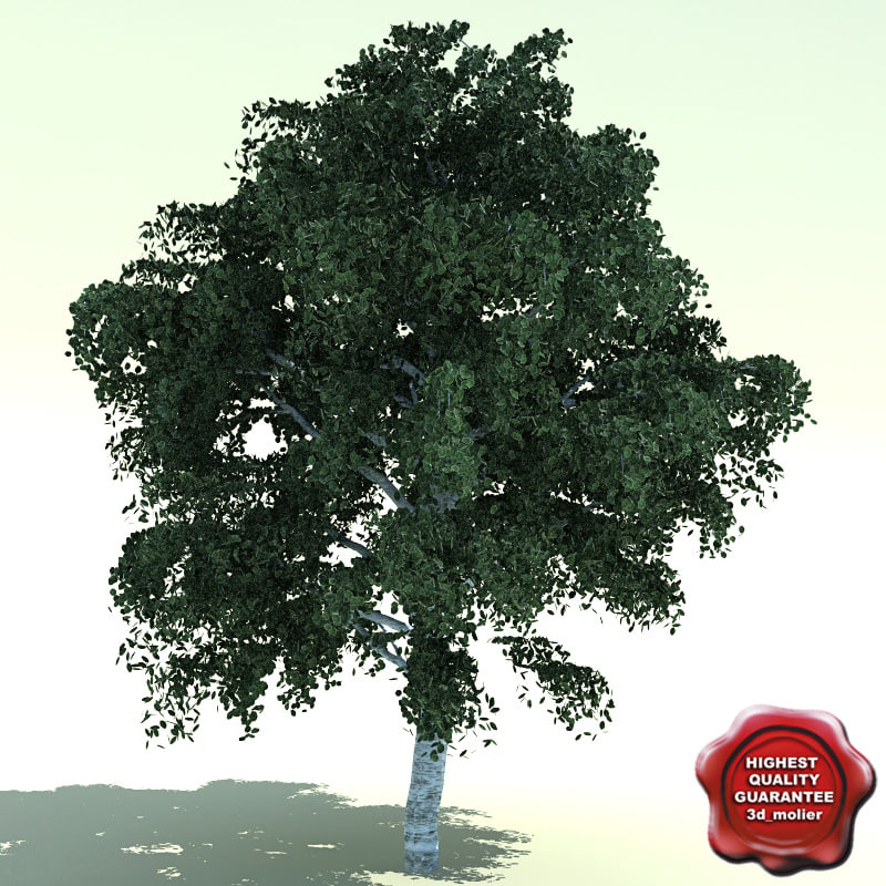 3d model betula jacquemontii birch