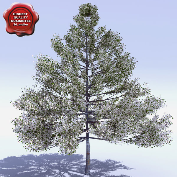 cornus nuttallii pacific dogwood 3d model