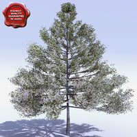 cornus nuttallii pacific dogwood 3d model