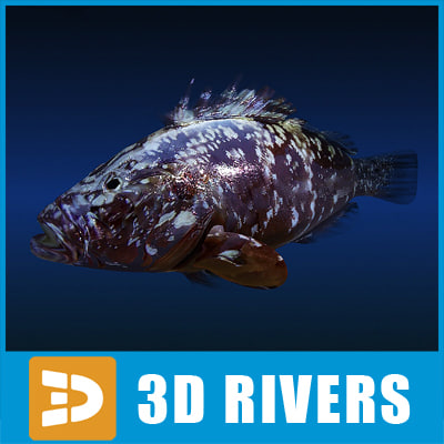 dusky grouper fish 3d model