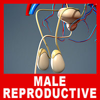 Male Urinary, Endocrine & Reproductive Systems (No Textures)