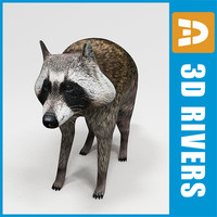 raccoon animals racoon coon 3d model