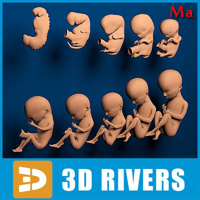 human embryo development 3d model