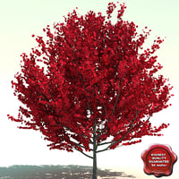 3d model acer rubrum red sunset