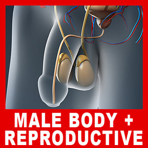 medically male body urinary 3d model