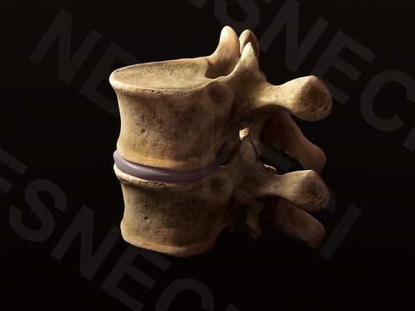 obj vertebrae t6 t7
