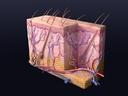 cutaneous receptors skin 3d model