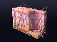 cutaneous receptors skin 3d model