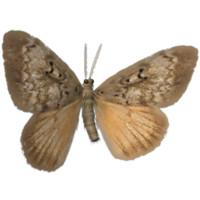 3d model gypsy moth