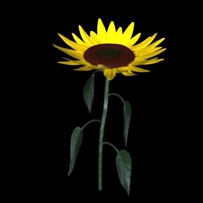 maya flower sun sunflower
