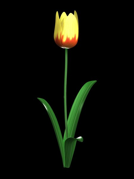 maya yellow tulip