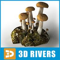 ma beech mushroom