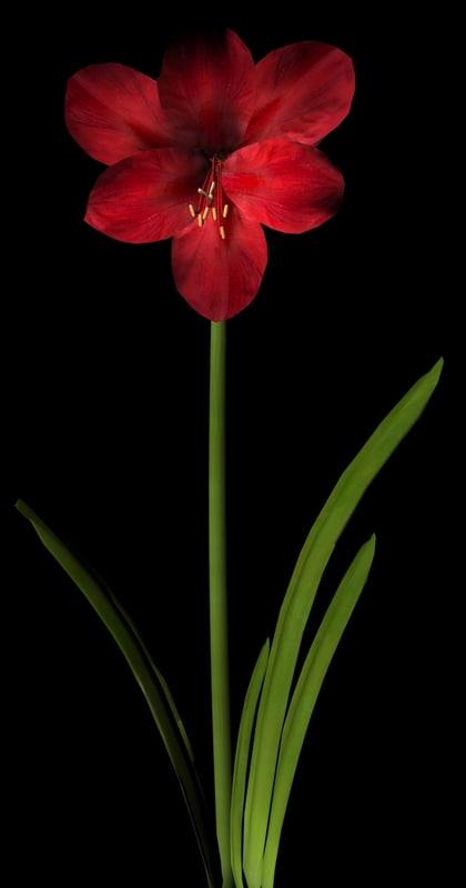 maya flower amaryllis