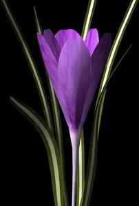 flower crocus 3d model