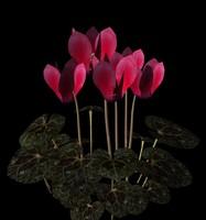 3d flower cyclamen