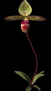maya flower garnet orchid