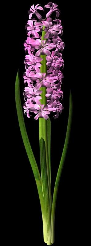 flower hyacinth ma
