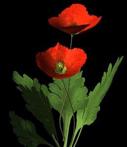 flower red corn poppy 3d model