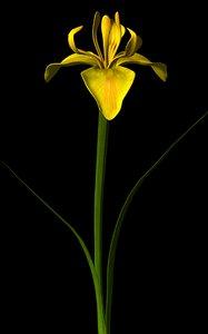 flower yellow iris 3d ma